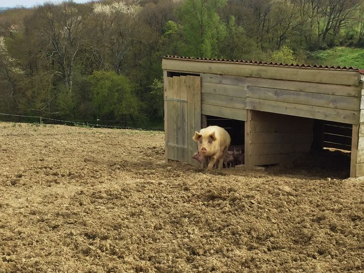 Élevage porcin en plein air - Ferme Équilibre 31 - Espanès (31)