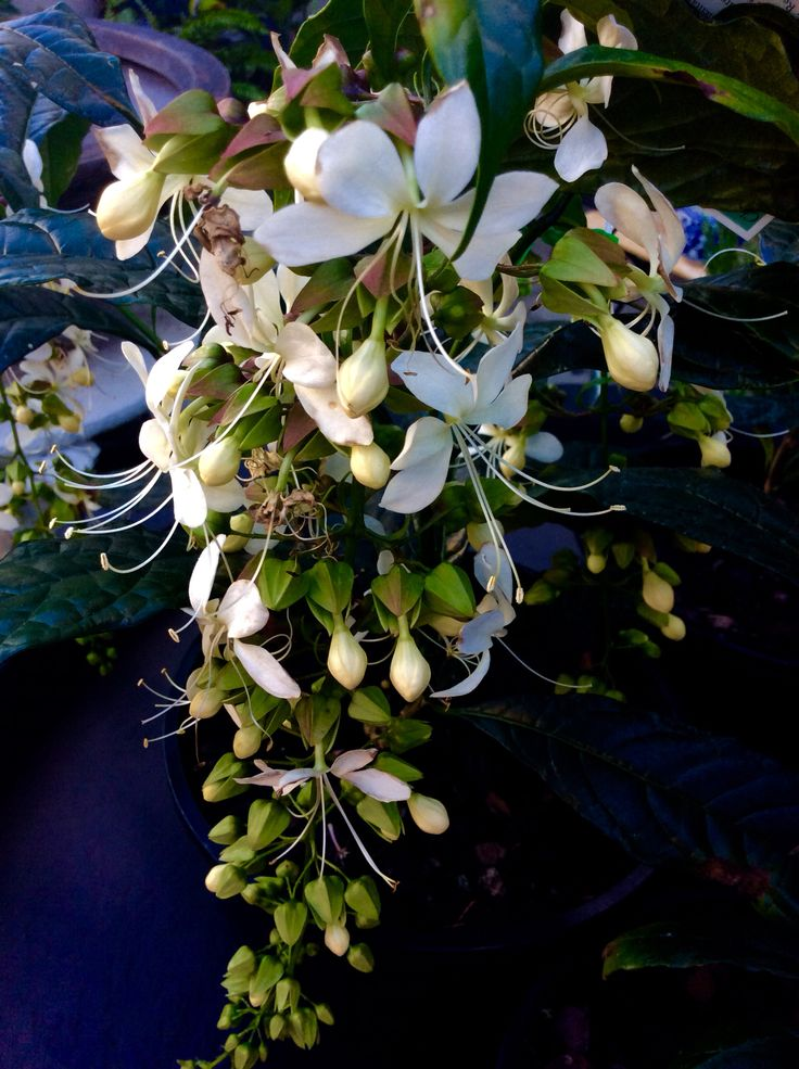 Nodding Clerodendrum This graceful shrub enjoys partly shaded areas and flowers in autumn . $18.50