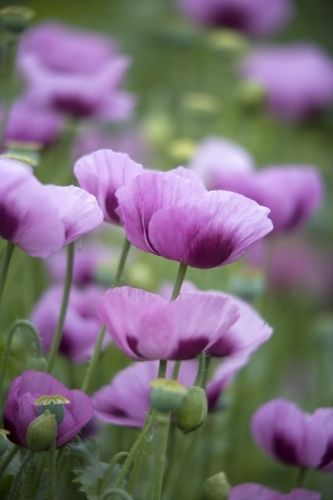 I want a yard full of purple poppies!!                           Purple Poppies by Richard Osbourne...♡