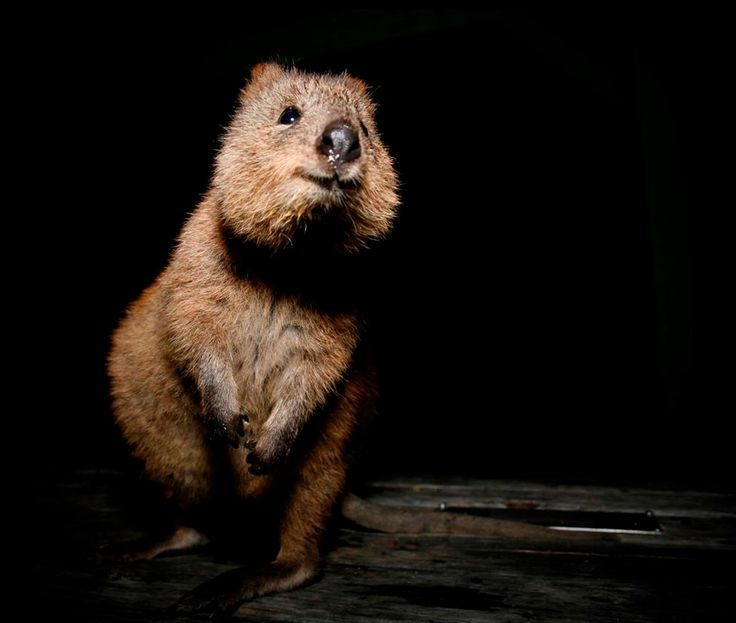 The Quokka: A mini kangaroo-like marsupial | Earthly ...