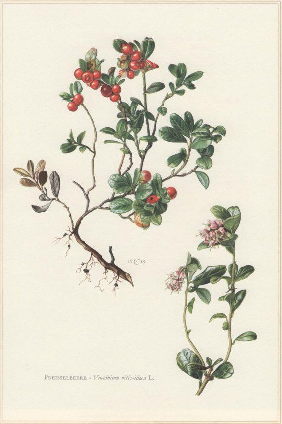 1960 Botanical Print, Vaccinium vitis-idaea, Lingonberry, Preisselbeere, Vintage Lithograph, Botany Illustration, Home Wall Decor, Cowberry