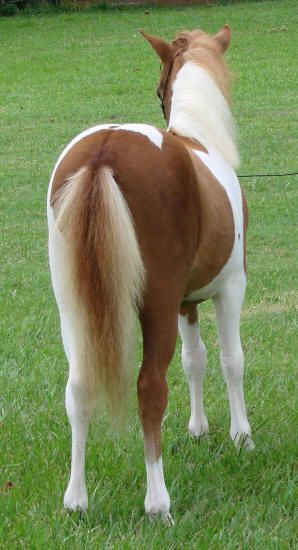 miniature horses for sale - page 241