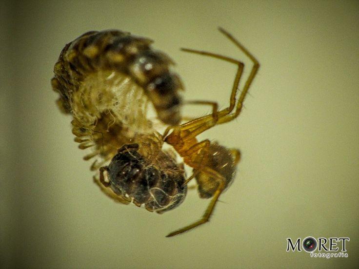 Ataque da Aranha - Micro Piolho de Cobra, sendo atacado na teia da aranha marron