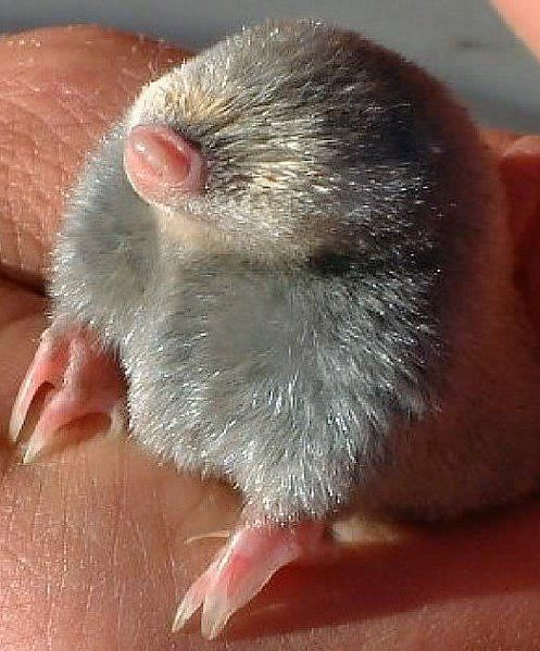 mole baby, the Eastern mole <3 (Scalopus aquaticus) is listed as a species of special concern in provincially in Ontario, as well as nationally