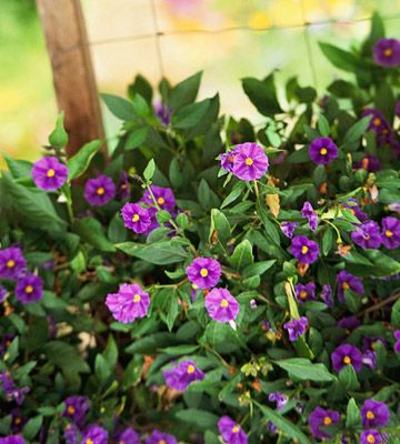 Solanum. Sun/shade. I love the pale blue kind. Can be trained to climb. Fence coverage!