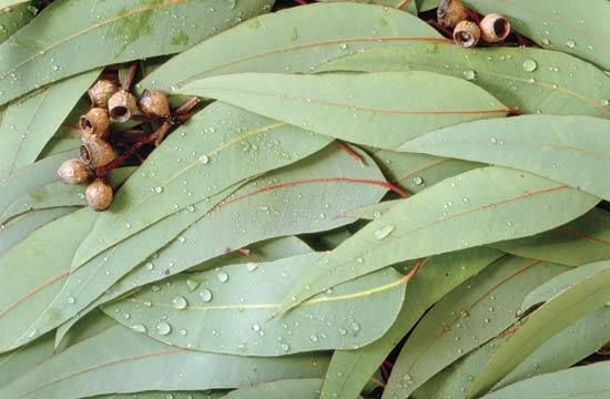 Eucalyptus leaves are widely believed to effectively Ward