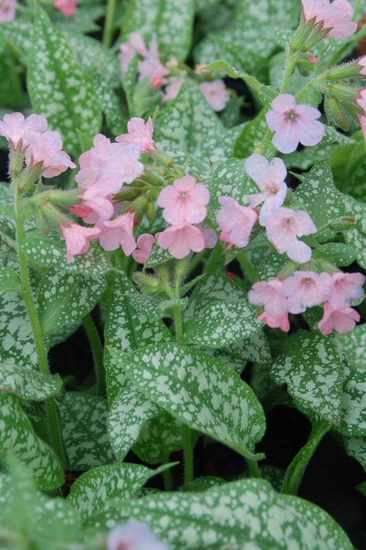 163 Best Images About Gf Pulmonaria Common Name