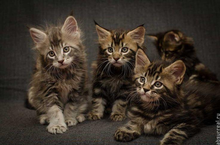 Quando decidiamo di acquistare un gatto Maine Coon ci troviamo a dover affrontare la scelta: gatto maschio o femmina? Quali sono le differenze? Non c'è una scelta migliore, tutto dipende dalle nostre necessità