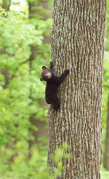 #Black Bear Cub (Ursus americanus)  Like, Pin and Share :]