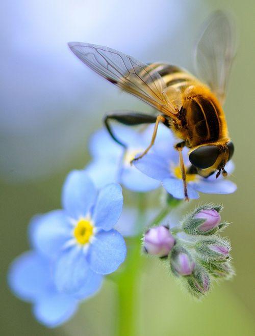 Bee on a Forget-Me-Not...how appropriate! #Bienen www.apidaecandles.de