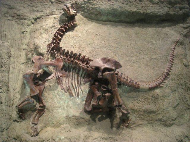 fossils pictures | Pictures of Dinosaur Fossils - Camarasaurus Lentus