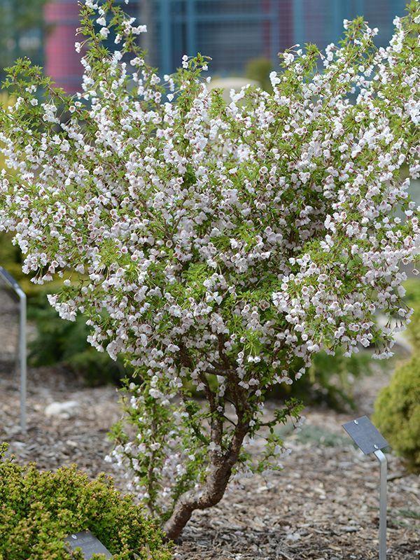 Image Result For Mini Standard Japanese Blossom Cherry Prunus Kojo No Mai Wild Plum Tree Plants Small Gardens