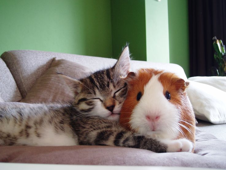 Nap time is snuggle time for this kitty and guinea pig - Other pictures of animals cuddling inside of pin