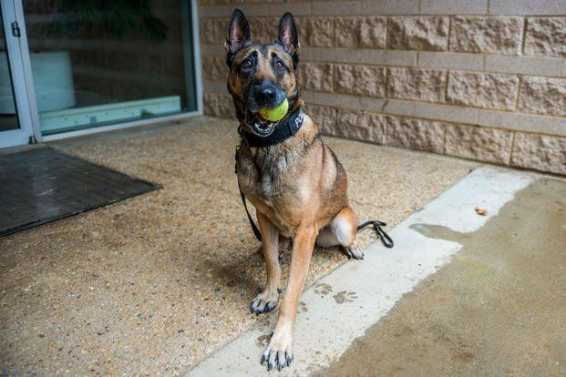 Reisja A 7 Year Old Belgian Malinois From The Department Of Defense Dod K 9 Unit Participates In Training Exercises Military Working Dogs Working Dogs Dogs