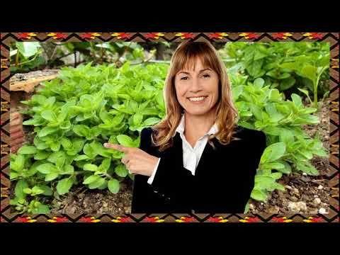 El Oregano Sirve Para La Tos  Para Que Sirve El Oregano Planta Medicinal https://www.youtube.com/watch?v=BwcW9v9Lrz8 el oregano sirve para la tos - el oregano sirve para la tos  el te de oregano es bueno para la tos. te de oregano para que sirve. te de oregano para la tos en niños  te de oregano como se prepara. para que sirve el te de oregano.. cómo se prepara el té de oregano.... como usar el oregano para la tos. como se prepara el té de orégano:.... el té de orégano para la tos y…