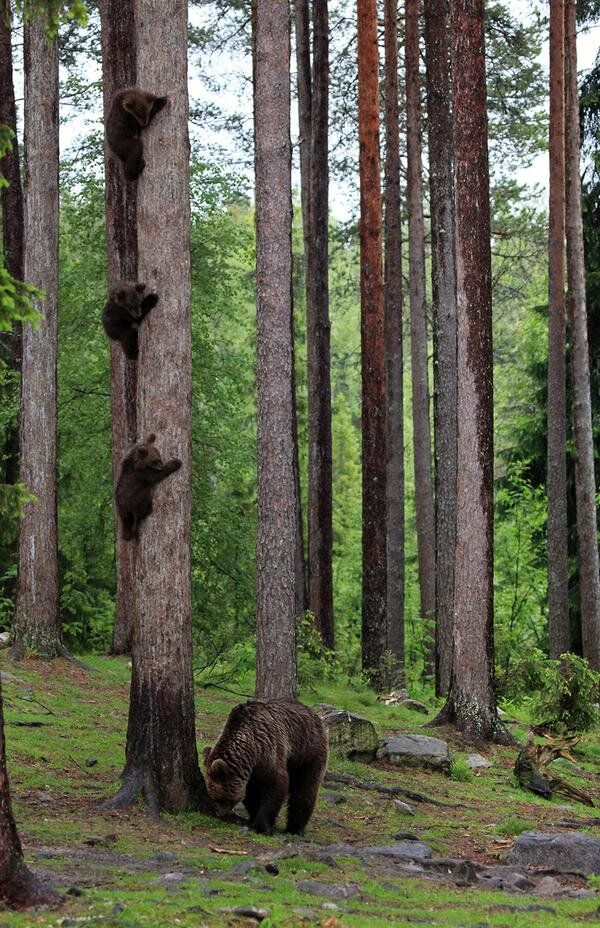 Three bear cubs hiding from mom.