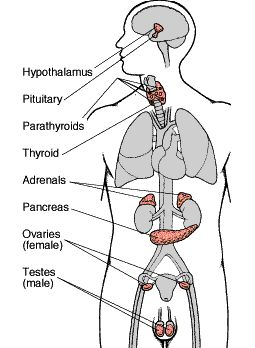 """Astridestella.info: ANATOMY AND PHYSIOLOGY FOR BEGINNERS """"THE ENDOCRINE SYSTEM"""""""