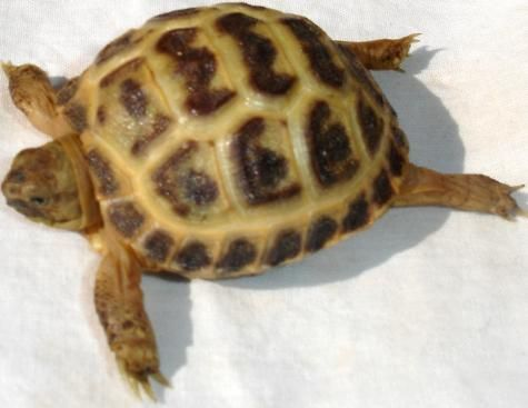 Baby Russian Tortoises for sale