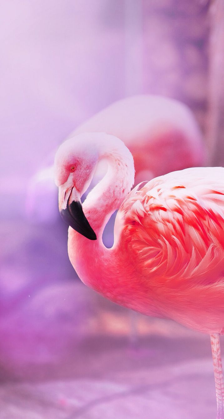 Background flamingo flamingos iphone wallpaper wallpaper - Wallpaper Iphone Backgroundsphone Wallpaperspink Flamingosapple