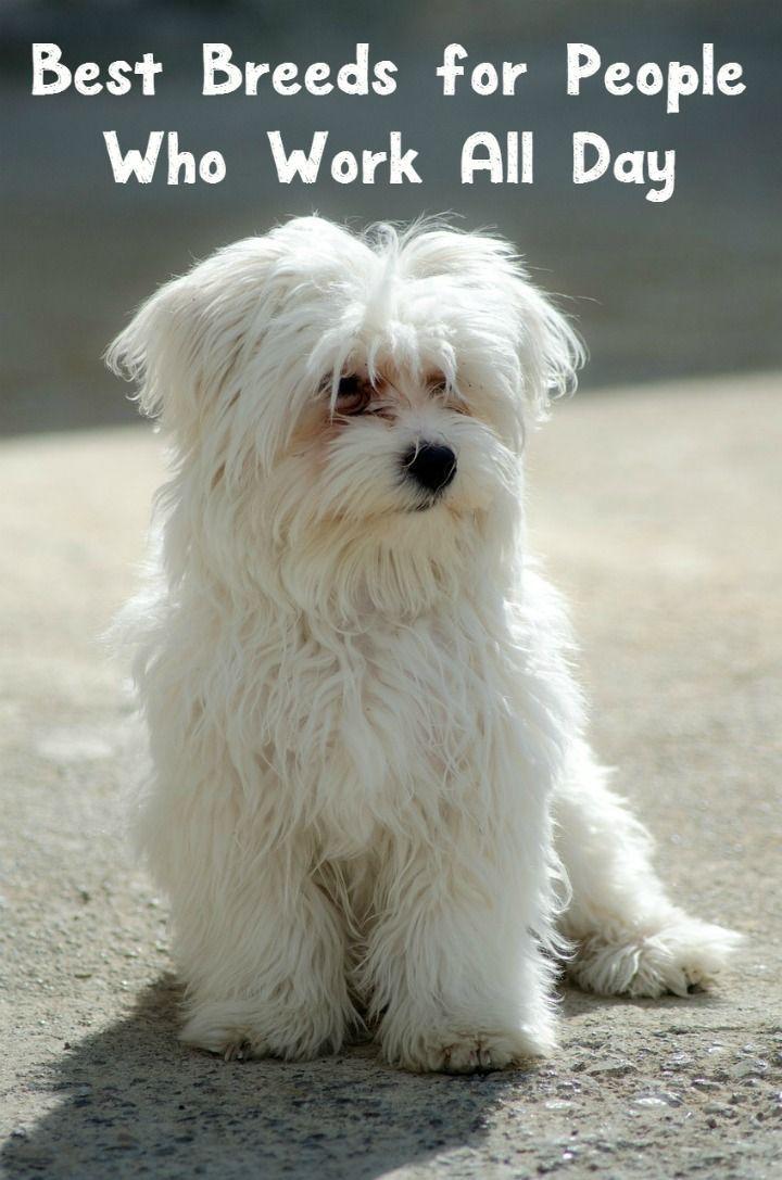 Pin By Bichon Maltes On Bichon Maltes Precio Dog Allergies