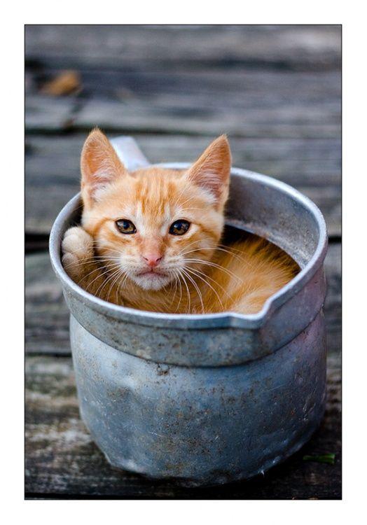 snug as a bug....: Orange Cat, Kitty Cat, Buckets, Cups, Kittens, Cat Ladies, Cat Meme, Ginger Cat, Animal