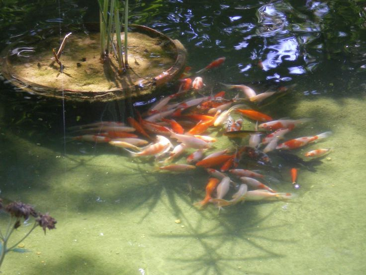 1000 images about koi pond on pinterest january 11 for Koi holding pool