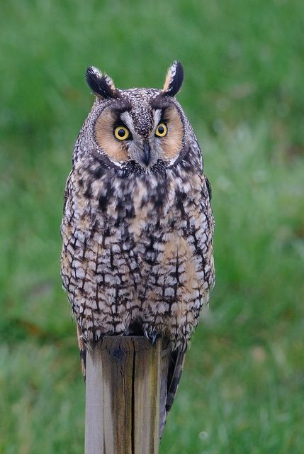 Long-eared Owl is a small species of owl that is primarily found in parts of the Northern Hemisphere.