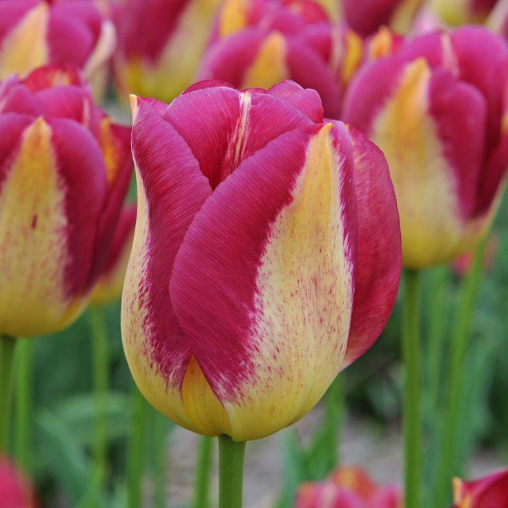 523 besten narzissen tulpen und hyacinthen bilder auf. Black Bedroom Furniture Sets. Home Design Ideas