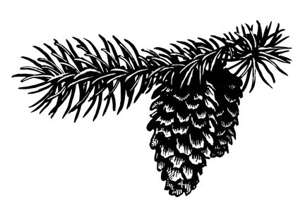Spruce Twig and Cone by Sean Murtha Ink ~ 3 x 5