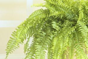 Boston Fern Scientific Name: Nephrolepis exalta bostoniensis Family: Dryopteridaceae
