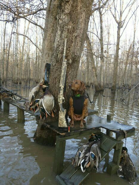 13 Best Duck Hunting Images On Pinterest  Waterfowl -4147