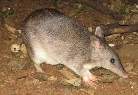 Image result for australian bandicoot pictures