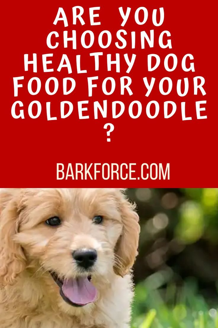 How to choose a healthy dog food for your goldendoodle in