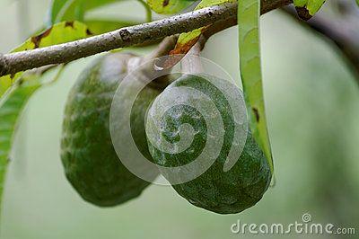Annouaceous fruits, in Mauritius. Anona das Maurícias