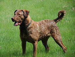 El Retriever de Chesapeake —en inglés: Chesapeake Bay Retriever— es un raza de perro que tiene origen en la Bahía de Chesapeake, costas de Maryland en el este de Estados Unidos. Perteneciente a los retriever, y clasificado en los grupos de caza y deportes por parte de los Kennel Club