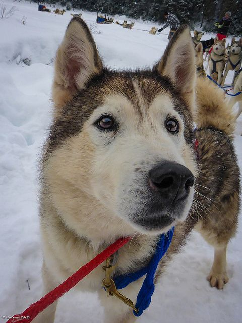 Look at that face! So cute! We met this cutie at Winterdance Dogsled Tours in Ontario's Haliburton Forest. It's an amazing tour that anyone can take, where they can drive their own dogsleds and have the adventure of a lifetime.