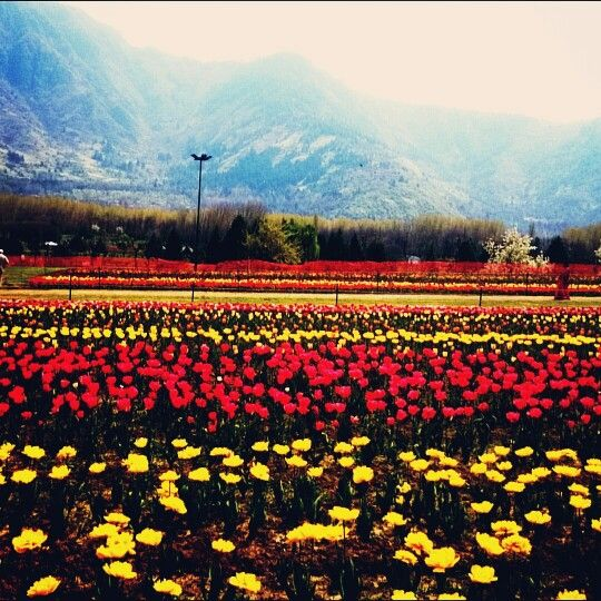 Bloooming Tulips #kashmir #garden #paradise #nature