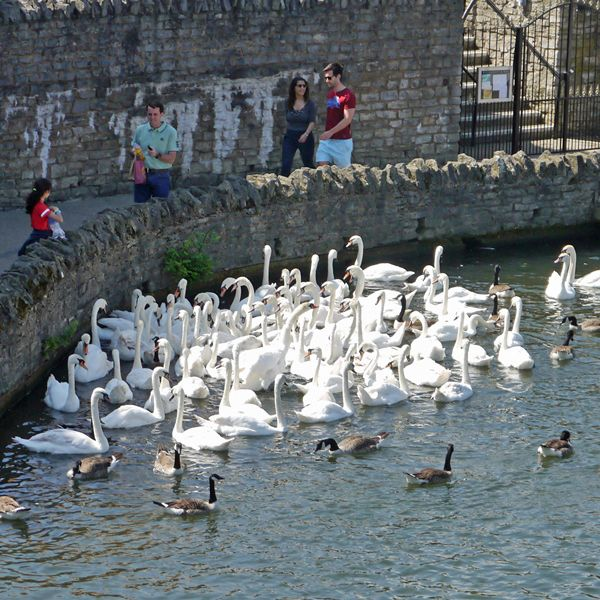 Thames Path: Swans in the river at Windsor