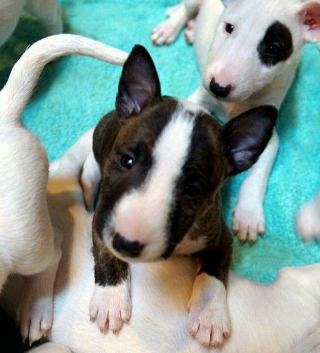 "Mini bull terrier...""yes, I'm the cutest in the litter"""