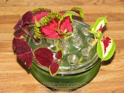How to root coleus cuttings in water to make new plants for free
