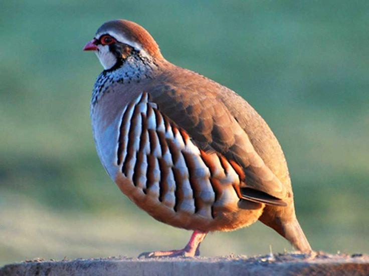 Image result for partridge