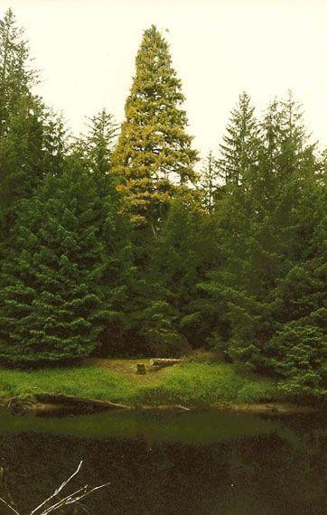 The Golden Spruce Trail Port Clements - Blog - Go Haida Gwaii