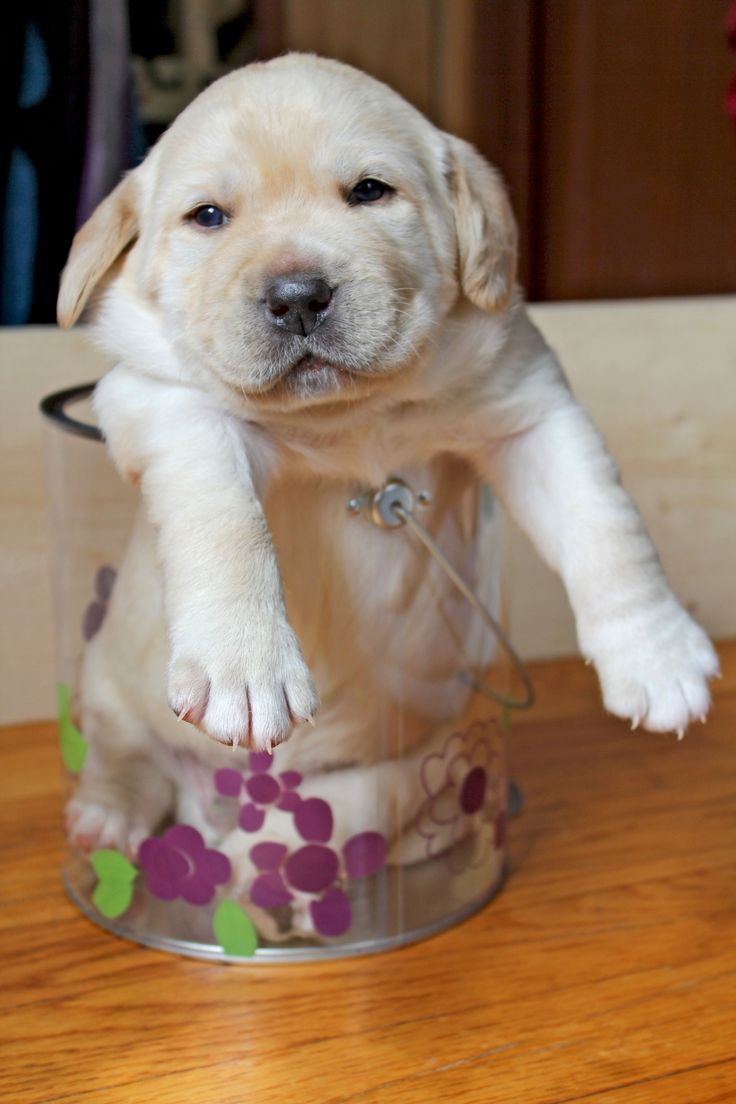 Yellow Lab Puppy  His name is Chuck Emerson Winchester