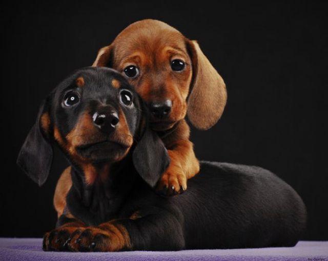 My babiesFriends, Sweets, Dachshund Puppies, Puppies Eye, Doxie, Weiner Dogs, Wiener Dogs, Wienerdogs, Animal