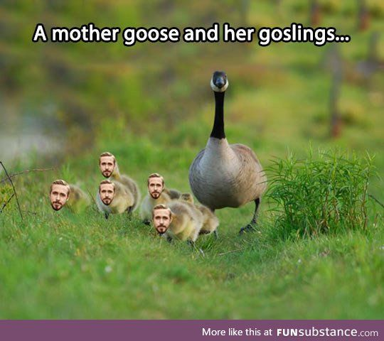 Goose and her little ryans