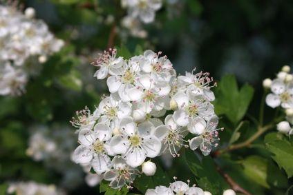 Kvetoucí hloh ,foto-©Samphotostock.cz/jvolodina