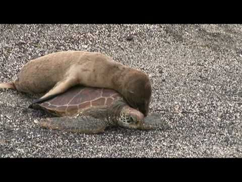 Baby Sea Lion Rides a Turtle down to the shore of the Galapagos islands! Too cute.