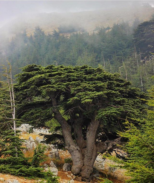 The mighty cedar ✨Photo by: @ragheb02 #hd_lebanon