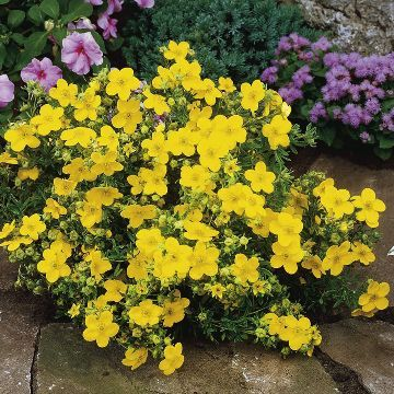 Potentilla fruticosa Plants .. I have just planted several of these as ground cover on a slope