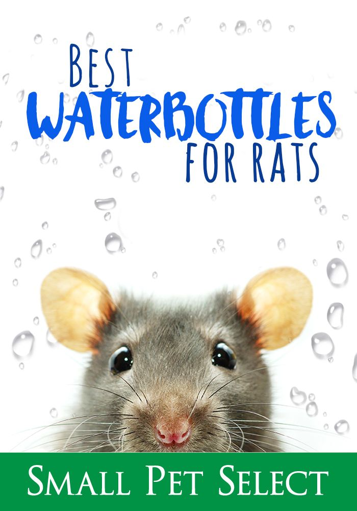 Is Your Rat Complaining About Leaky Water Bottles Dripping Water